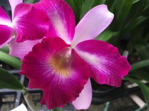 Lc. Mari's Glory 'Avery'   2 1/2 inch pot (2-3 years to bloom)