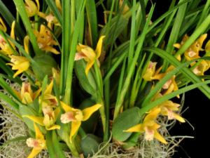 2 plants Blooming size Maxillaria tenuifolia 'Yamada's Yellow'